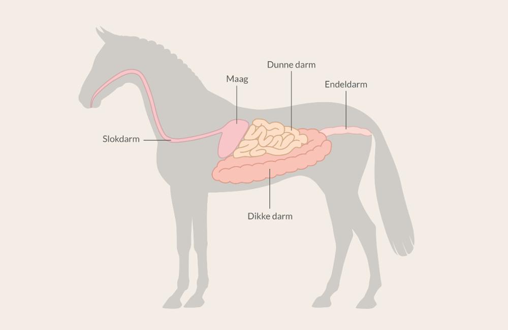 Hoe werkt de vertering van een paard?